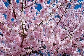 Reflexology Cherry Blossom